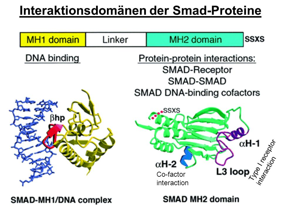 Interaktionsdomänen der Smad-Proteine