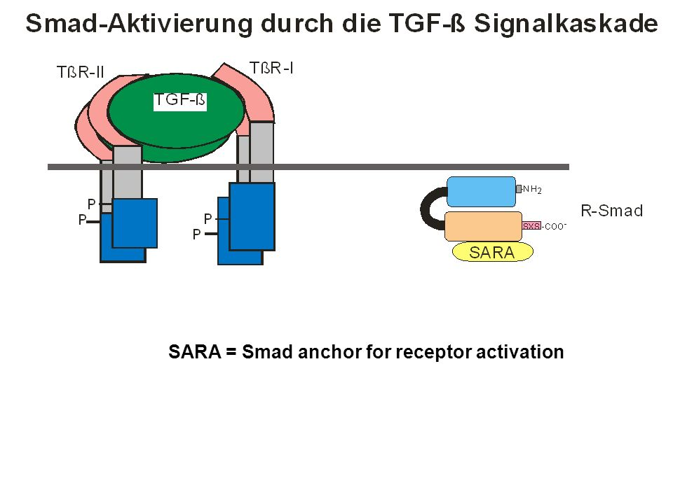 SARA = Smad anchor for receptor activation
