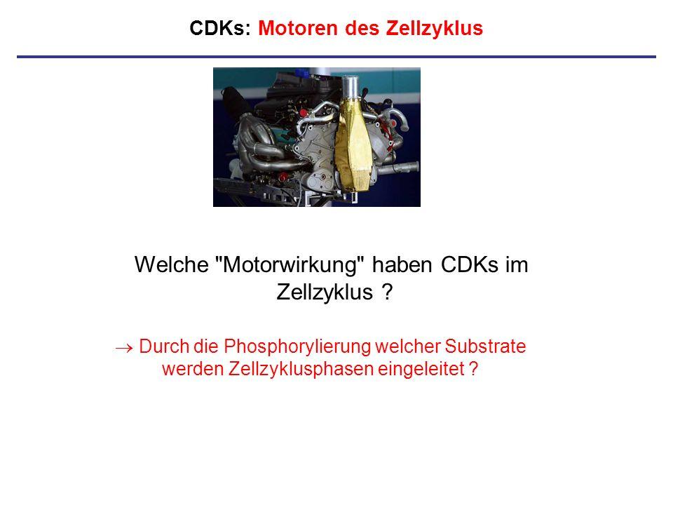CDKs: Motoren des Zellzyklus