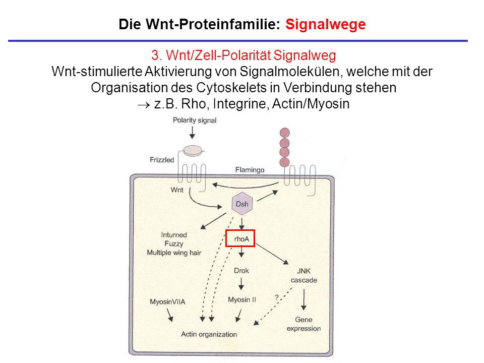 Die Wnt-Proteinfamilie: Signalwege