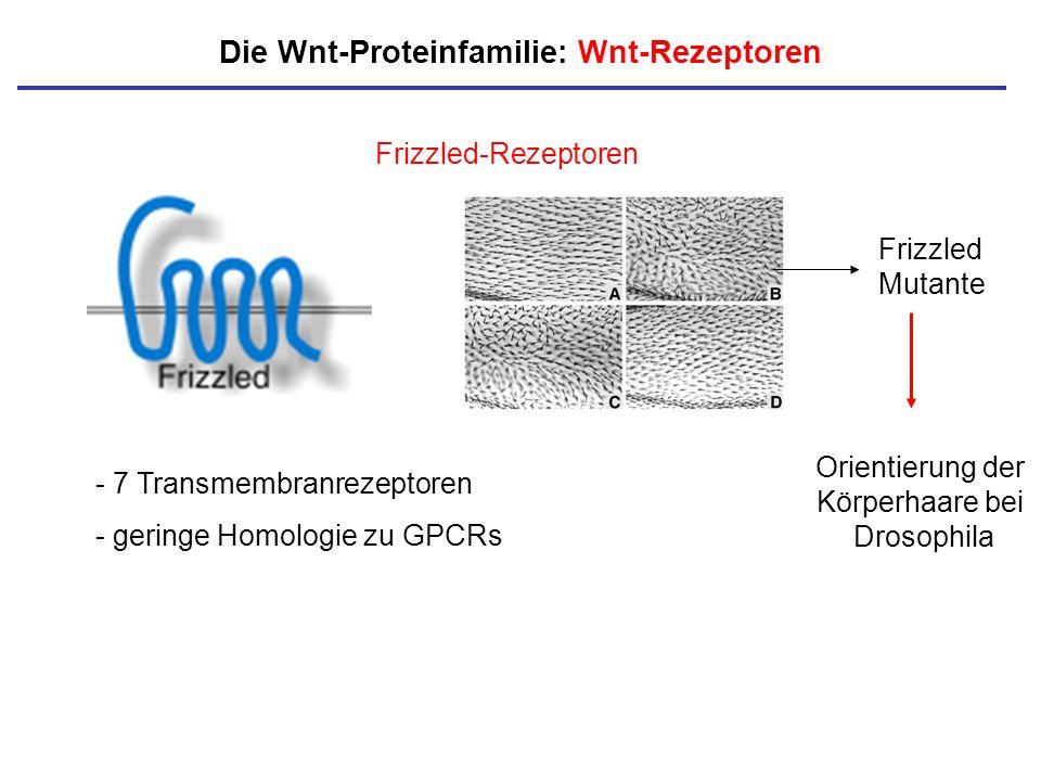 Die Wnt-Proteinfamilie: Wnt-Rezeptoren