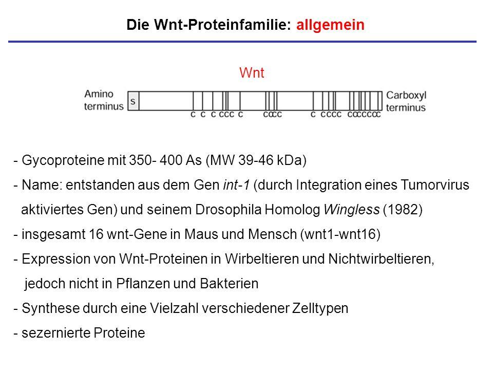 Die Wnt-Proteinfamilie: allgemein