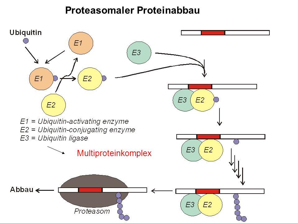 Proteasomaler Proteinabbau