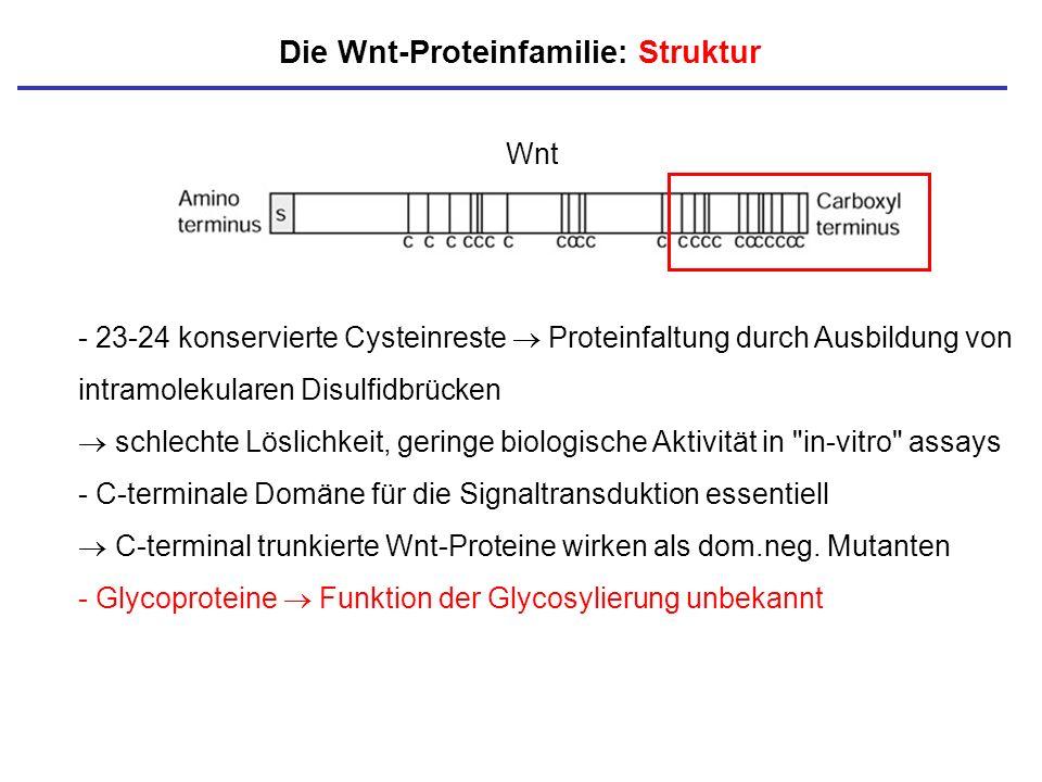 Die Wnt-Proteinfamilie: Struktur