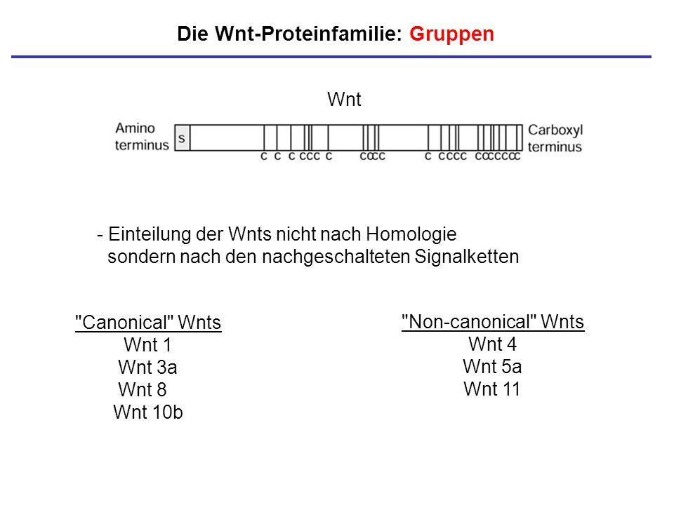 Die Wnt-Proteinfamilie: Gruppen