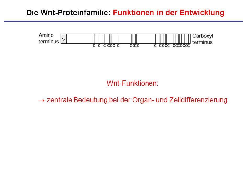 Die Wnt-Proteinfamilie: Funktionen in der Entwicklung