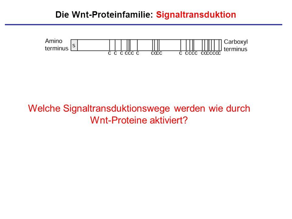 Die Wnt-Proteinfamilie: Signaltransduktion