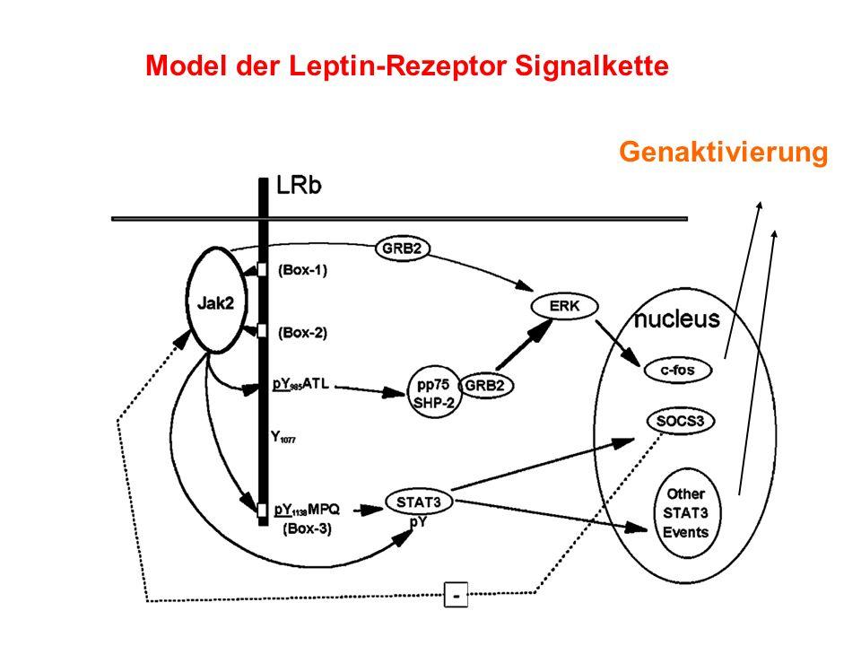 Model der Leptin-Rezeptor Signalkette