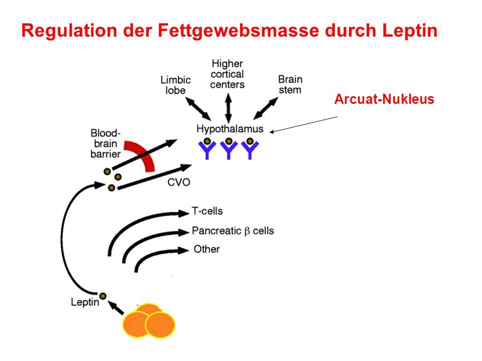 Regulation der Fettgewebsmasse durch Leptin