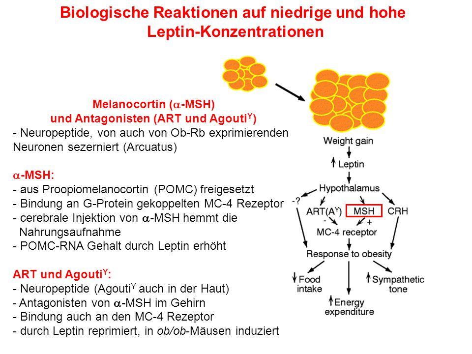 Biologische Reaktionen auf niedrige und hohe Leptin-Konzentrationen