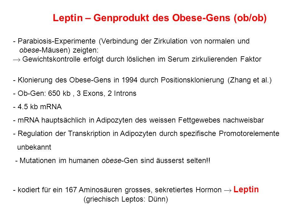 Leptin – Genprodukt des Obese-Gens (ob/ob)