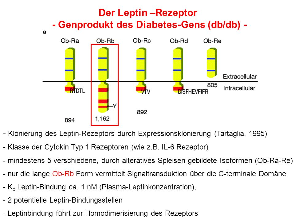 - Genprodukt des Diabetes-Gens (db/db) -
