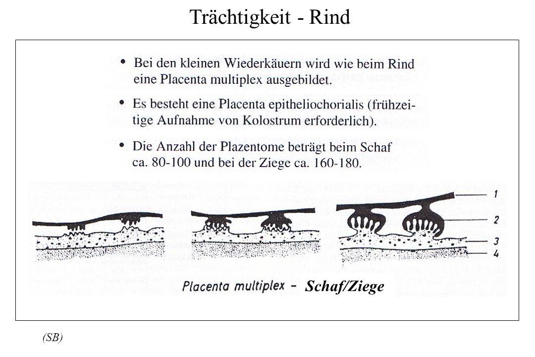 Trächtigkeit - Rind Schaf/Ziege (SB)
