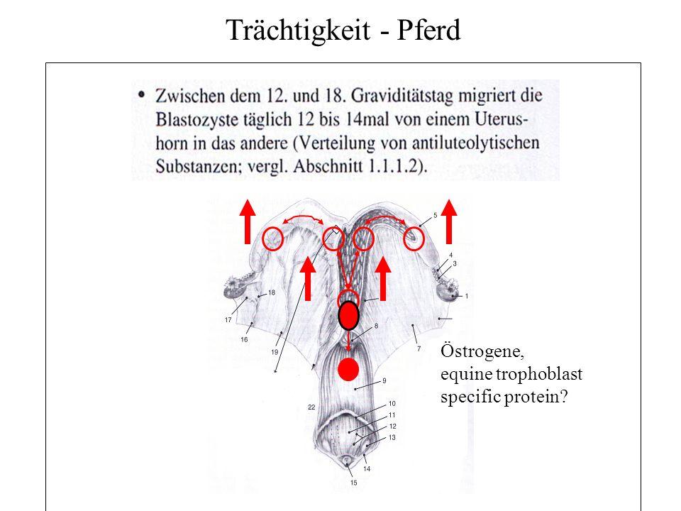Trächtigkeit - Pferd Östrogene, equine trophoblast specific protein