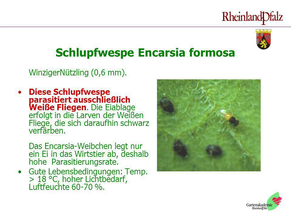 Schlupfwespe Encarsia formosa