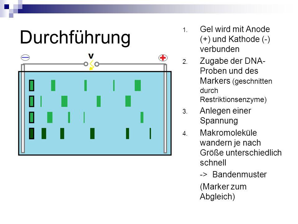 Durchführung Gel wird mit Anode (+) und Kathode (-) verbunden