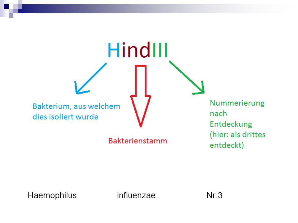 Haemophilus influenzae Nr.3