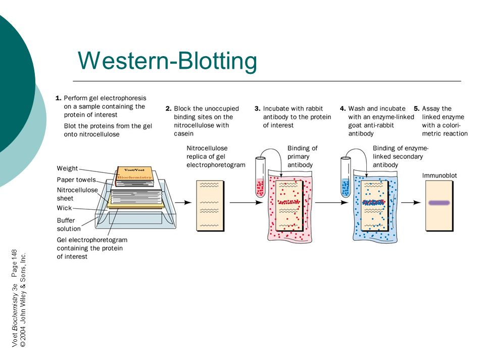 Western-Blotting Page 148 © 2004 John Wiley & Sons, Inc.