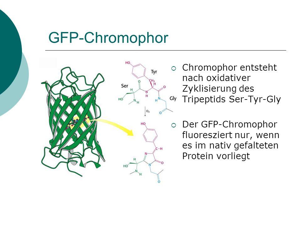 GFP-Chromophor Chromophor entsteht nach oxidativer Zyklisierung des Tripeptids Ser-Tyr-Gly.