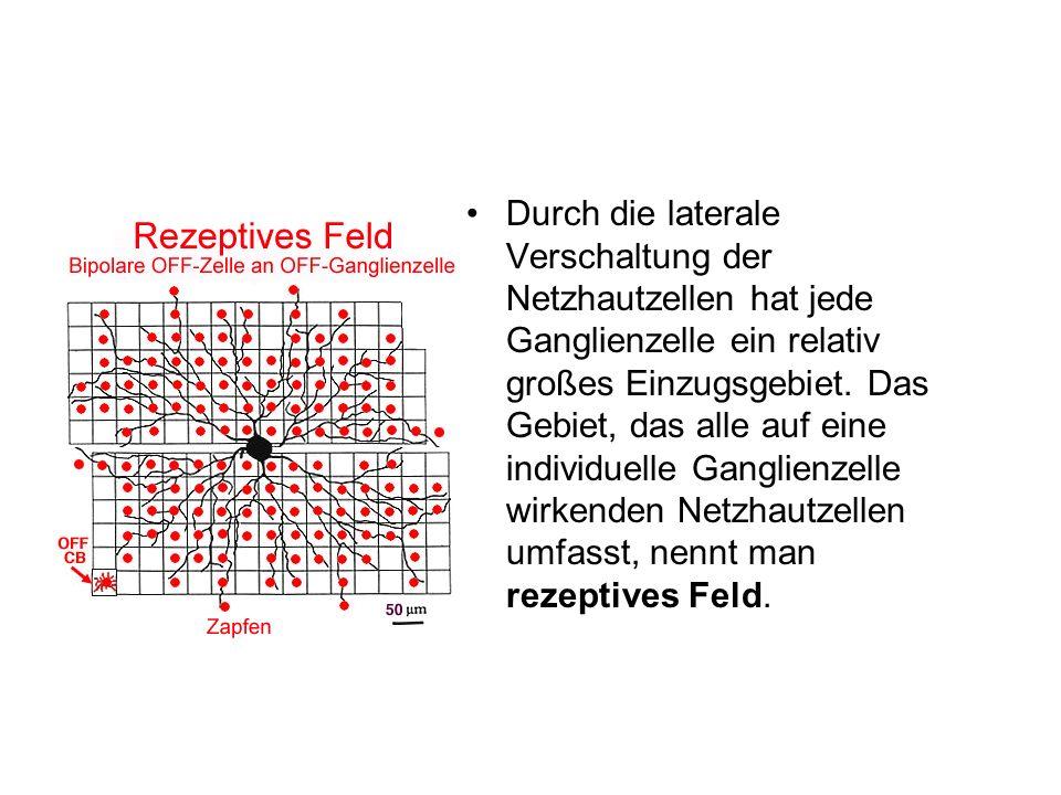 Durch die laterale Verschaltung der Netzhautzellen hat jede Ganglienzelle ein relativ großes Einzugsgebiet.