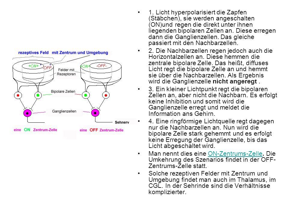 1. Licht hyperpolarisiert die Zapfen (Stäbchen), sie werden angeschalten (ON)und regen die direkt unter ihnen liegenden bipolaren Zellen an. Diese erregen dann die Ganglienzellen. Das gleiche passiert mit den Nachbarzellen.