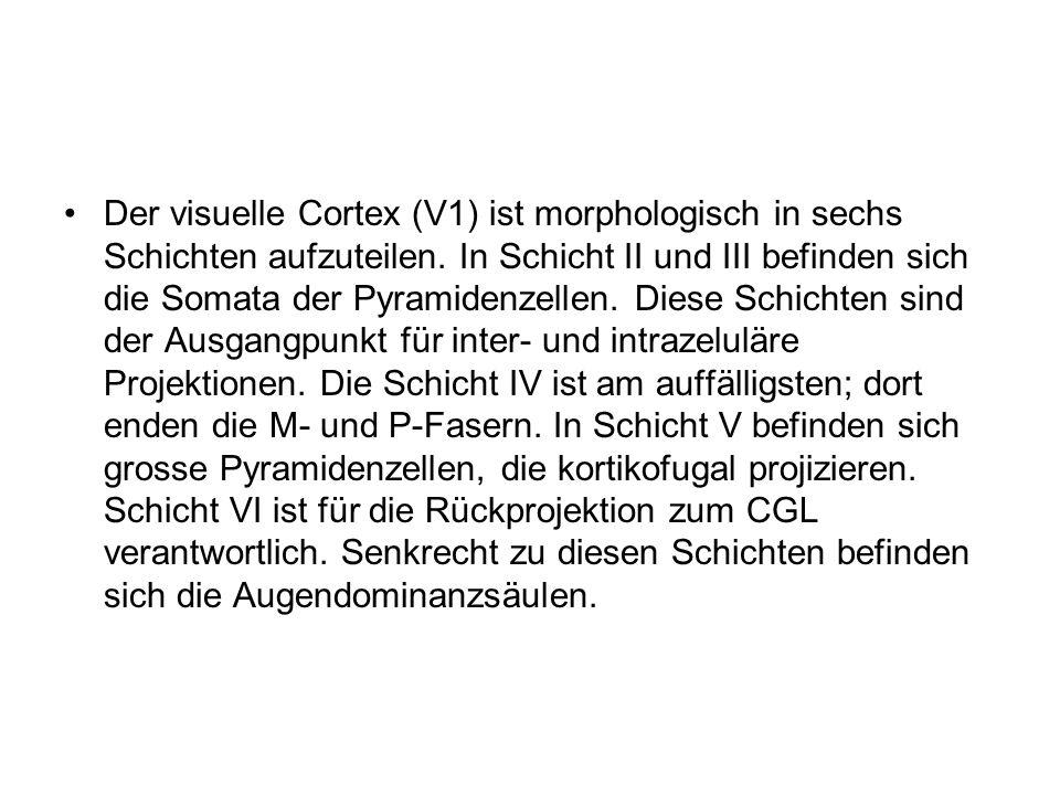 Der visuelle Cortex (V1) ist morphologisch in sechs Schichten aufzuteilen.