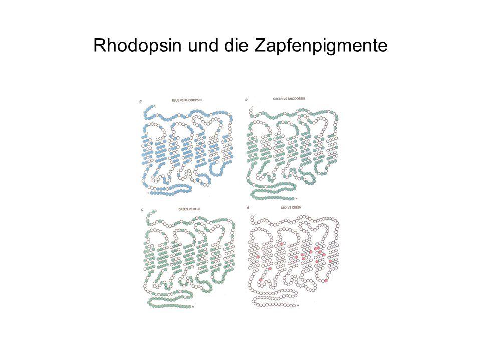 Rhodopsin und die Zapfenpigmente