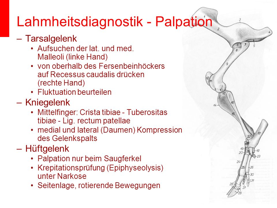 Lahmheitsdiagnostik - Palpation