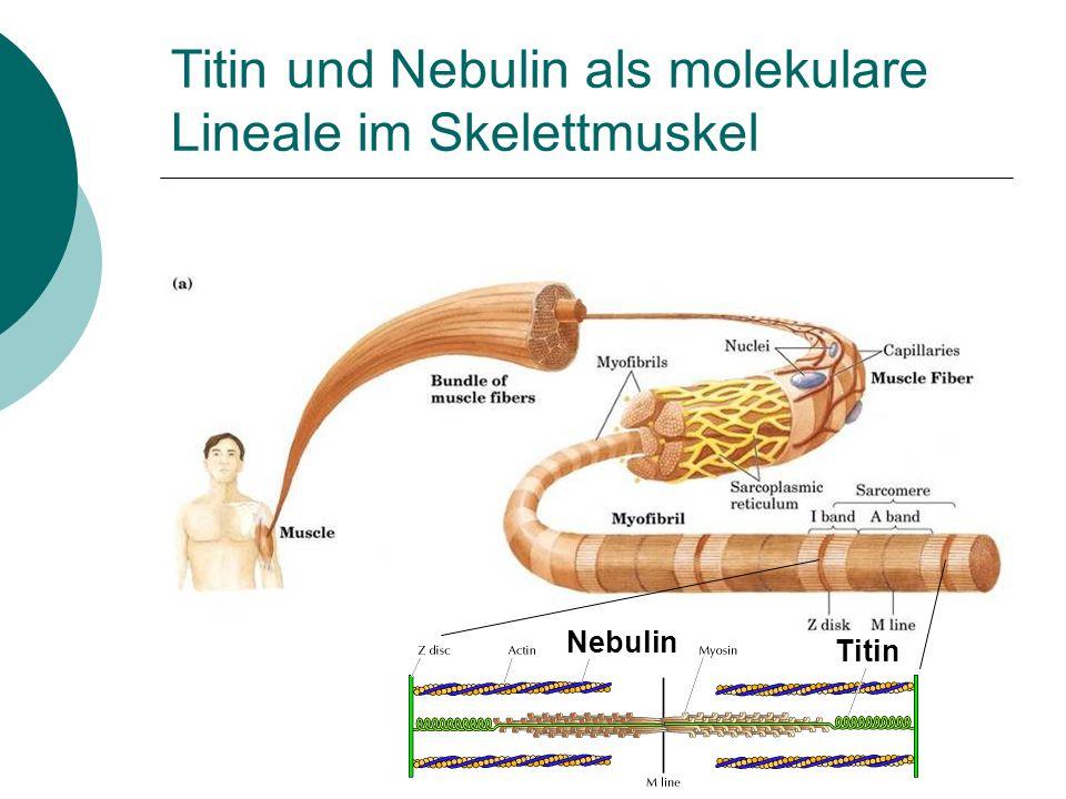Titin und Nebulin als molekulare Lineale im Skelettmuskel