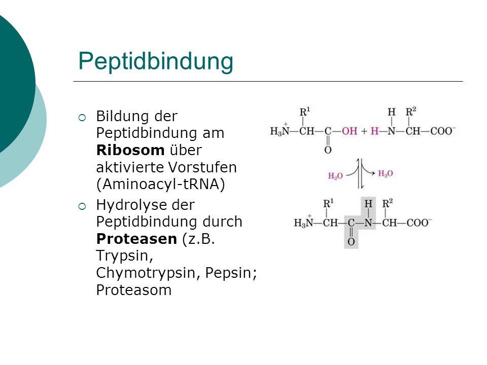 Peptidbindung Bildung der Peptidbindung am Ribosom über aktivierte Vorstufen (Aminoacyl-tRNA)