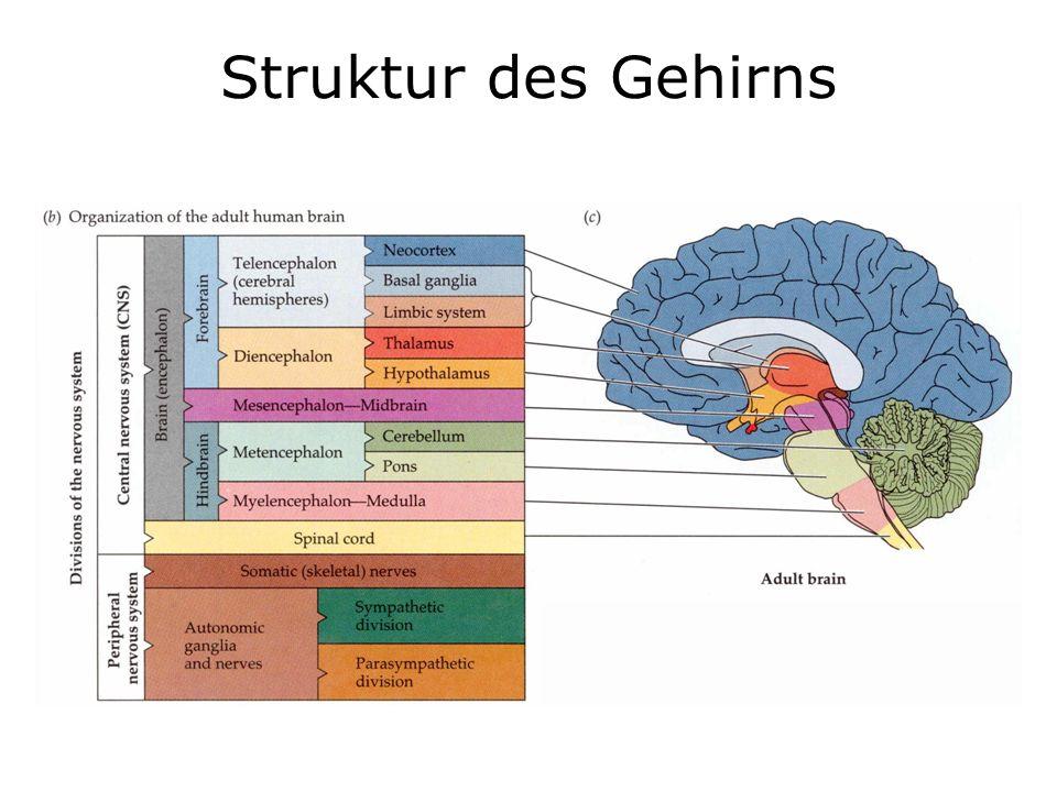 Wunderbar Struktur Des Gehirns Galerie - Menschliche Anatomie Bilder ...