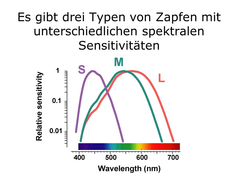 Es gibt drei Typen von Zapfen mit unterschiedlichen spektralen Sensitivitäten