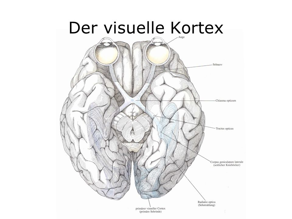 Der visuelle Kortex