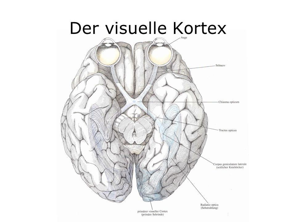 Der visuelle Kortex