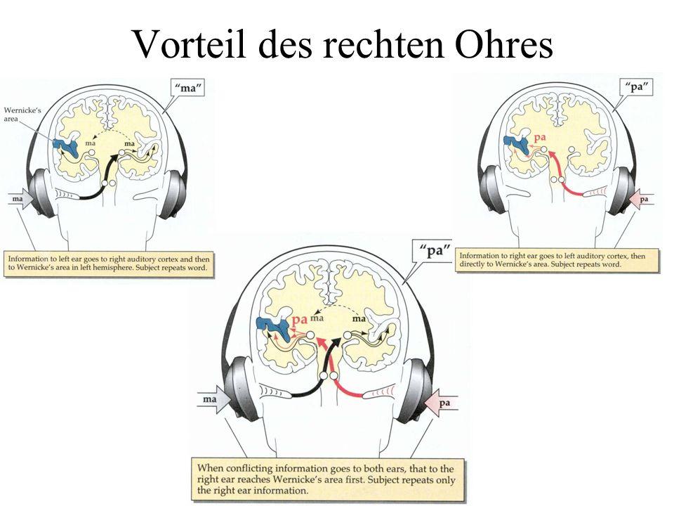 Vorteil des rechten Ohres