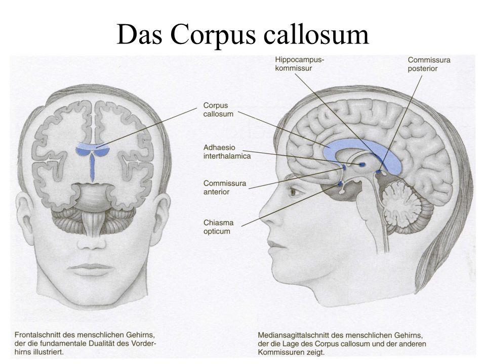 Das Corpus callosum