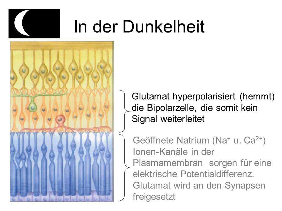 In der Dunkelheit Glutamat hyperpolarisiert (hemmt) die Bipolarzelle, die somit kein Signal weiterleitet.