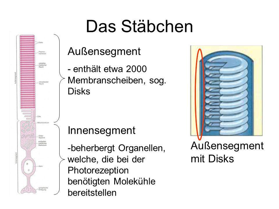 Das Stäbchen Außensegment Innensegment Außensegment mit Disks