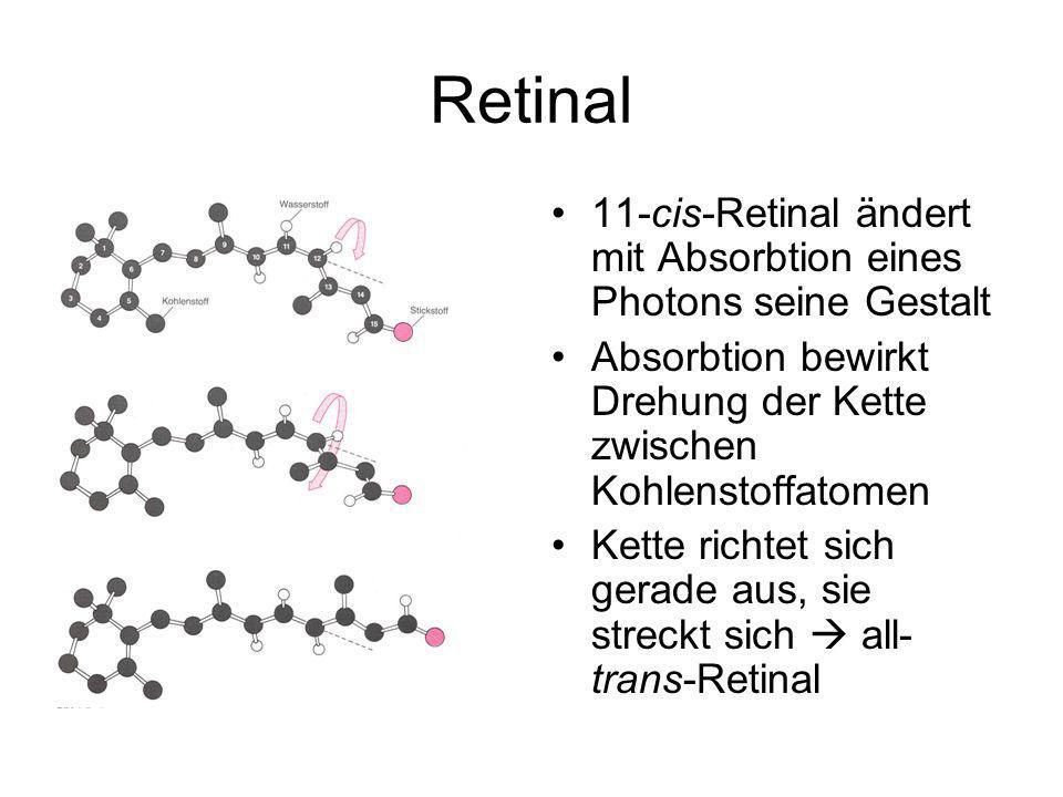 Retinal 11-cis-Retinal ändert mit Absorbtion eines Photons seine Gestalt. Absorbtion bewirkt Drehung der Kette zwischen Kohlenstoffatomen.