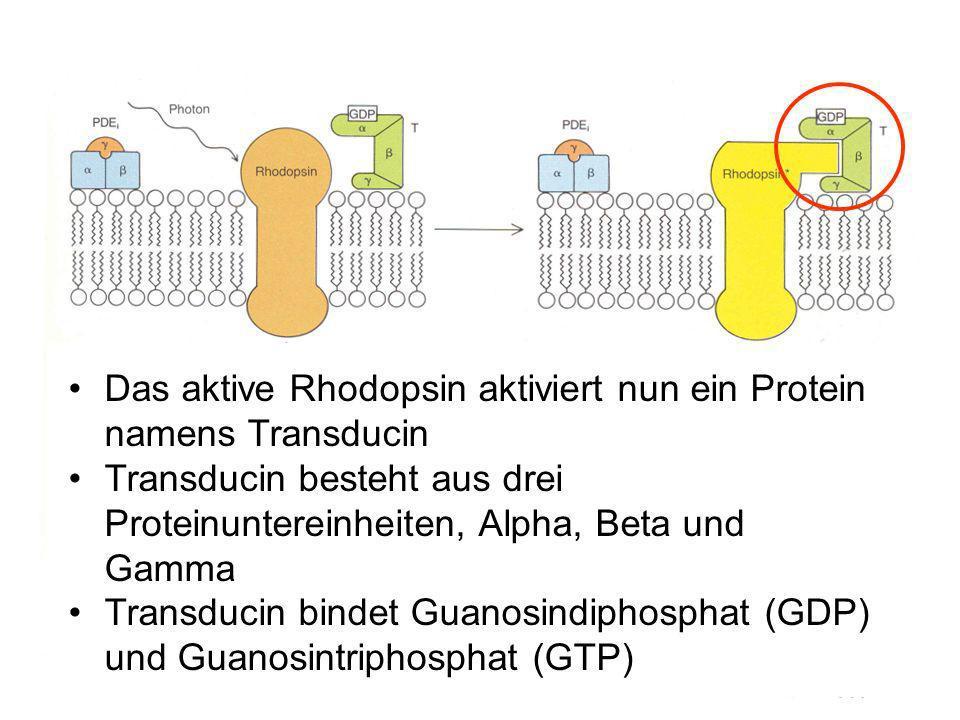 Das aktive Rhodopsin aktiviert nun ein Protein namens Transducin