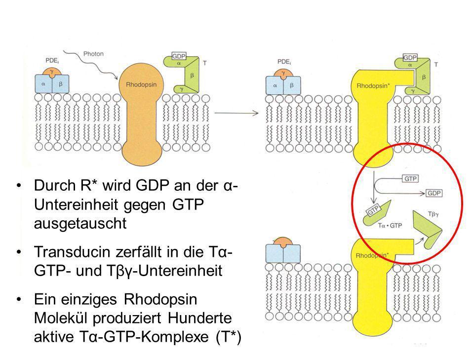 Durch R* wird GDP an der α-Untereinheit gegen GTP ausgetauscht