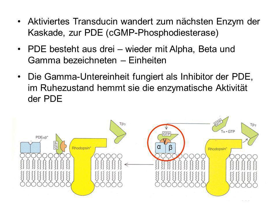 Aktiviertes Transducin wandert zum nächsten Enzym der Kaskade, zur PDE (cGMP-Phosphodiesterase)