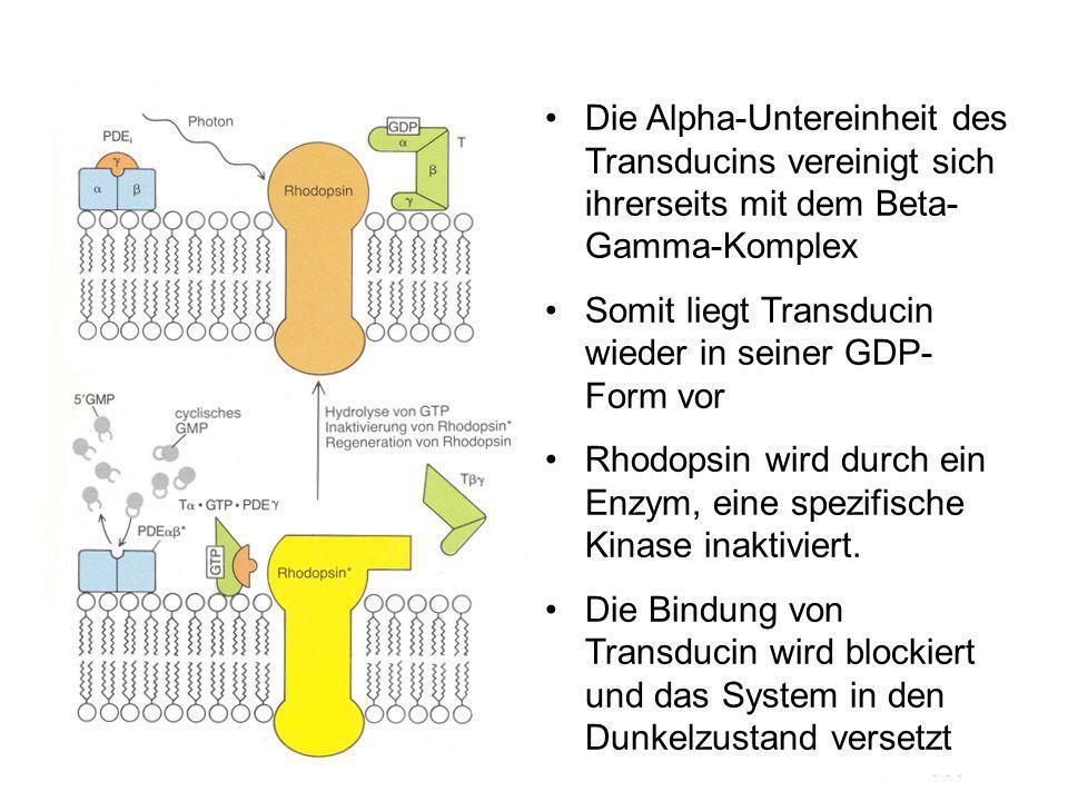Die Alpha-Untereinheit des Transducins vereinigt sich ihrerseits mit dem Beta-Gamma-Komplex