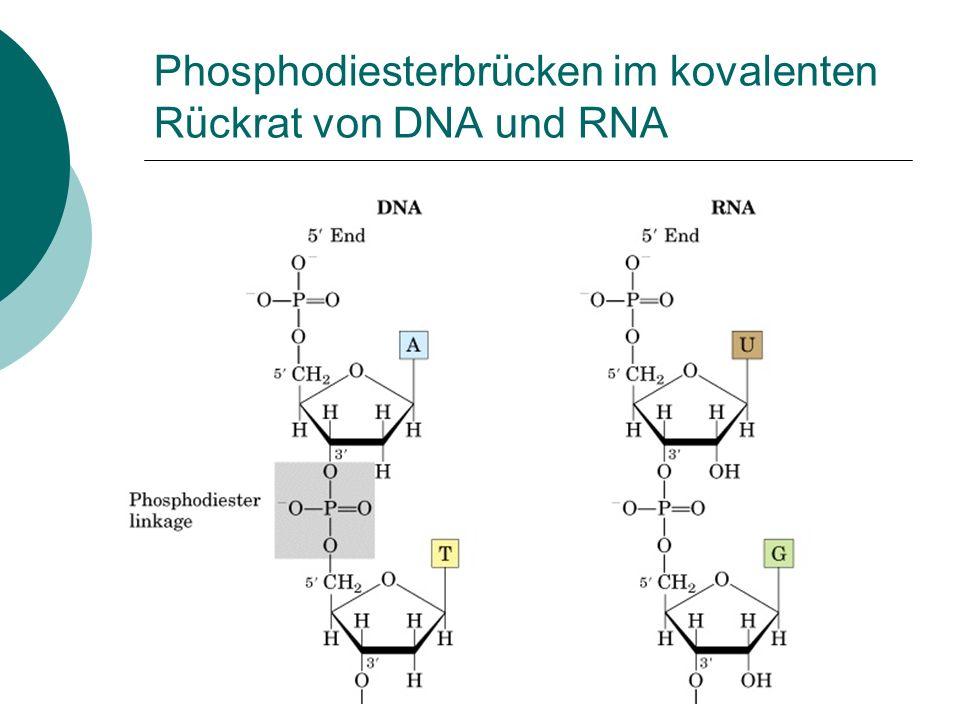Phosphodiesterbrücken im kovalenten Rückrat von DNA und RNA