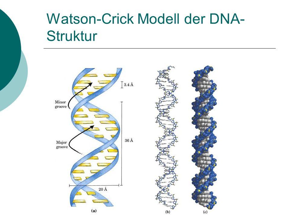 Watson-Crick Modell der DNA-Struktur
