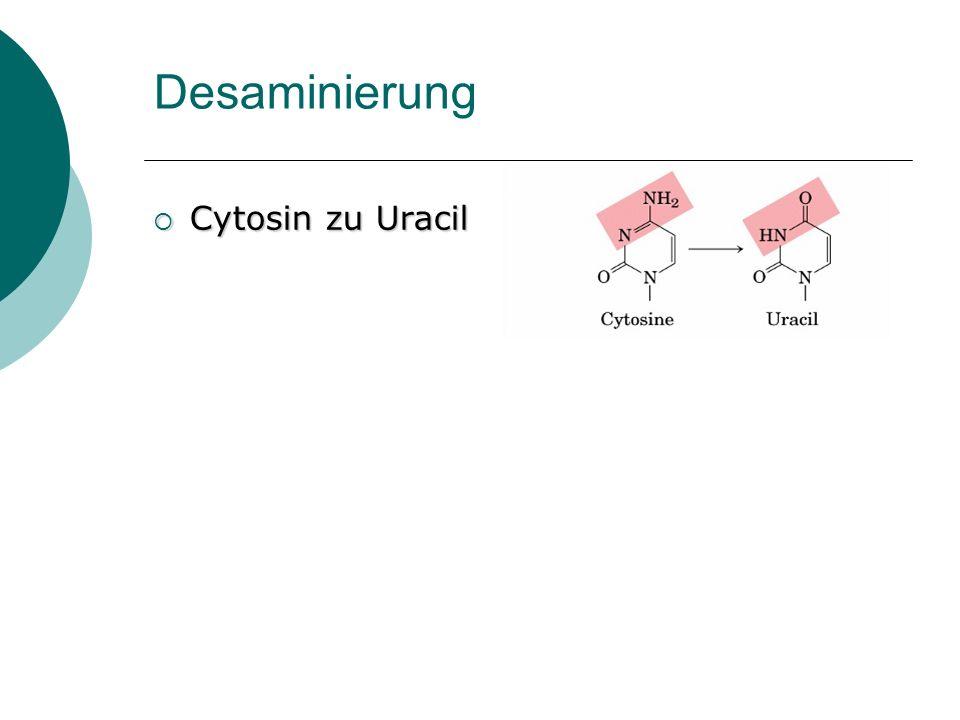 Desaminierung Cytosin zu Uracil