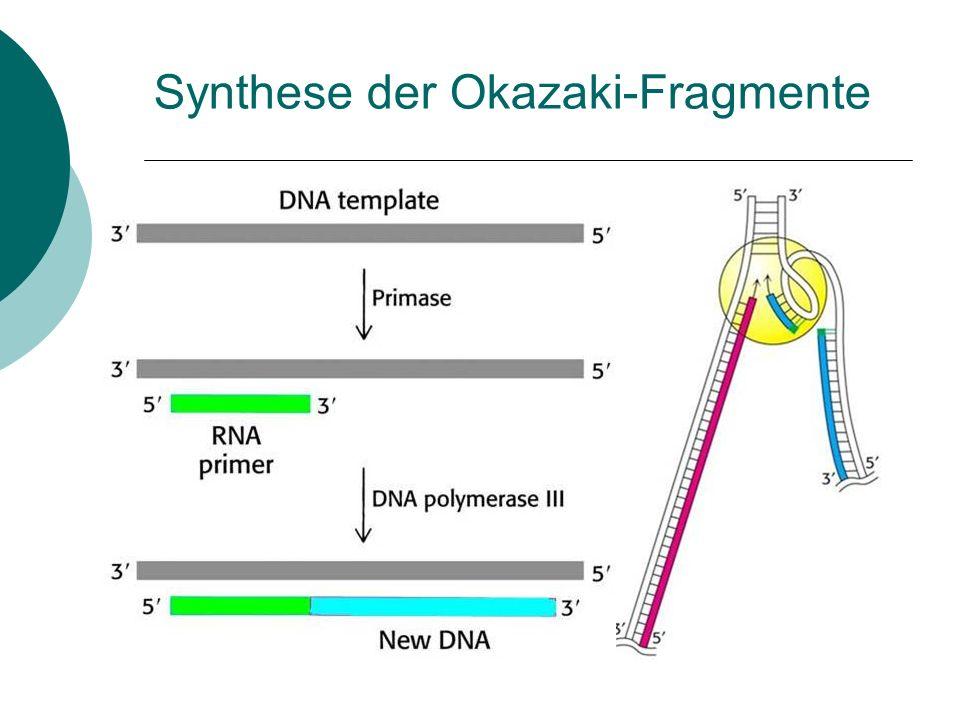 Synthese der Okazaki-Fragmente