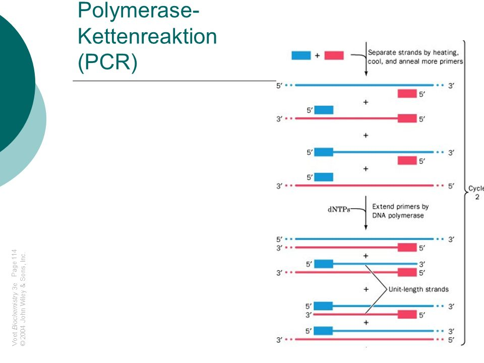 Polymerase-Kettenreaktion (PCR)