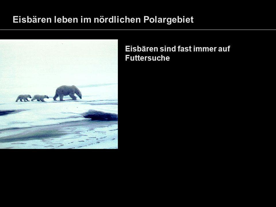 Eisbären leben im nördlichen Polargebiet