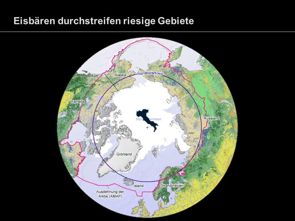 Eisbären durchstreifen riesige Gebiete
